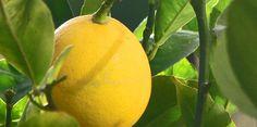 Improved Meyer Lemon Tree produces an abundance of sweet lemons each year. Discover how to grow dwarf Meyer lemon trees indoors. Get tips for growing, pruning citrus trees. Citrus Trees, Fruit Trees, Organic Gardening, Gardening Tips, Gardening Vegetables, Indoor Gardening, Container Gardening, Meyer Lemon Tree, Nature