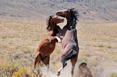 Nevada Wilds are freeroaming wild horses; the mustangs of Nevada.    Nevada Wilds, featuring the photography of Nevada's wild horses by Phil Adams.