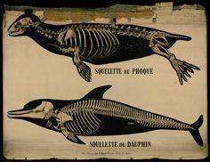 Squelette de Phoque - Deyrolle