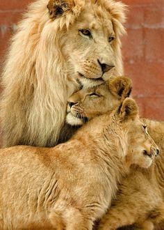 Lion family. Beautiful