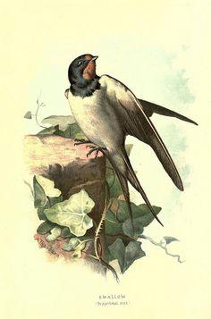 Familiar wild birds /.  London ; New York :Cassell,1883
