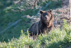 Grizzly Bears - GhostBearPhotography.com #wildlife #nature #outdoors