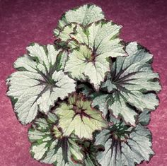 """Begonia """"Green Gold"""" at Logee's. green and silver and gold houseplant"""
