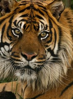 tigers are beautiful. he looks grouchy tho