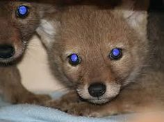 coyote pups - Google Search