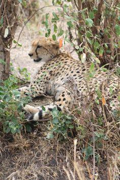 Cheetah on the Maasai Mara