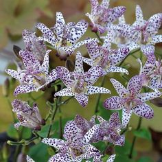 TRICYRTIS HIRTA Palmiers, Toad, Iris, Lily, Flowers, Lotus, Bouquets, Gardens, Shade Garden