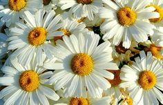 Leucanthemum-Shasta daisy