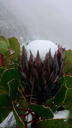 frosty protea, because yes, it actually does snow in South Africa :)