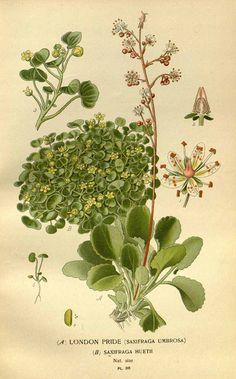 119780 Saxifraga umbrosa + ] / Step, E., Bois, D., Favourite flowers of garden and greenhouse, vol. 2: t. 88 (1896-1897) [D.G.J.M. Bois]