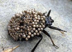 10 Most Disturbing Bugs (ugly bugs, monster bugs) - ODDEE