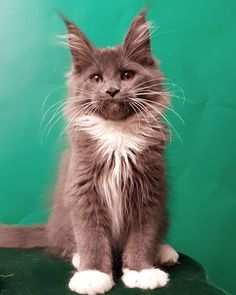 "A Maine coon? I think yes. - A Maine coon? I think yes. "" A Maine coon? I think yes. Best Picture For winter trends For Your - Pretty Cats, Beautiful Cats, Cute Kittens, Cats And Kittens, Ragdoll Kittens, Tabby Cats, Bengal Cats, Maine Coon Kittens, Funny Pics"