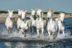 White Camargue Horses galloping along the beach in Parc Regional de Camargue - Provence, France Painted Horses, Horse Photos, Horse Pictures, Pretty Horses, Beautiful Horses, Seven Horses Painting, Foto Online, Largest Horse Breed, Horse Galloping