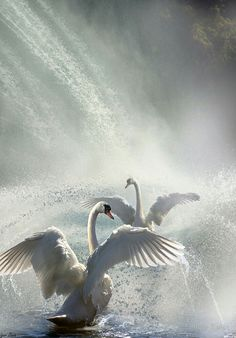 "coiour-my-world: ""Water Dance"" by Igor Zenin Swan Love, Beautiful Swan, Beautiful Birds, Animals Beautiful, Polo Sul, Polo Norte, Swans, Cygnus Olor, Swan Painting"