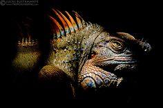 Green Iguana (Iguana iguana)   Flickr - Photo Sharing!