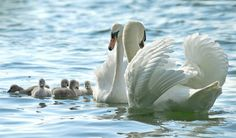The Mute Swan (Cygnus olor) Is a member of the duck, goose and swan family Anatidae. It is native to much of Europe and Asia