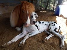a great dane and his mini horse best friend @alexandria nagel Vogt Hinaman hey better be in our future!