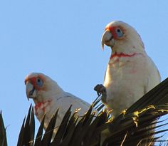 Long Billed Corellas by florahaggis, via Flickr