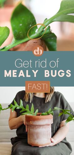 Are you noticing a fuzzy, white, cotton like residue on your houseplants? You probably have mealy bugs. We'll show you how to get rid of mealy bugs for good! It's just 2 easy steps. Clever Bloom #houseplants #indoorplants #plantcare #mealybugs House Plant Care, House Plants, Easy Care Houseplants, Scale Insects, Mealy Bugs, Plant Pests, Indoor Plants, Indoor Gardening, Super Natural