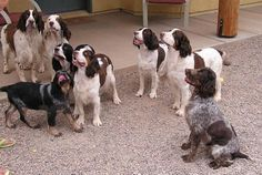 English Springer Spaniel Information and Pictures, English ...