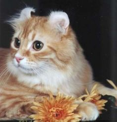 20 Most Affectionate Cat Breeds in The World - American Curl - Ideas of American Curl - American Curl Most Affectionate Cat Breeds The post 20 Most Affectionate Cat Breeds in The World appeared first on Cat Gig. American Curl, Whiskers On Kittens, Cute Cats And Kittens, Big Cats, Fluffy Cat Breeds, American Wirehair, Cat Cat, Cool Cat Trees, Animals