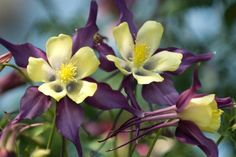 Columbine Flowers - Facts and Growing Tips