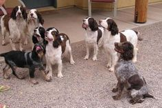 "English Springer Spaniel( grew up with them, females are wonderful ""mothering"" dogs, great with kids"