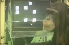 Chimp memory FAR better than human.