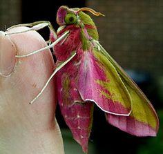 itjustgoeson:  Elephant Hawk-Moth