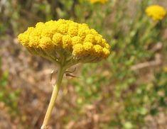 inflorescencia corimbo - Pesquisa Google
