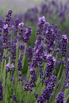 Summer  touch  Lavender Lariat