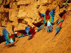 Red-and-Green Macaws at the clay lick, Manu National Park.  Photo: Mylene d'Auriol Stoessel.