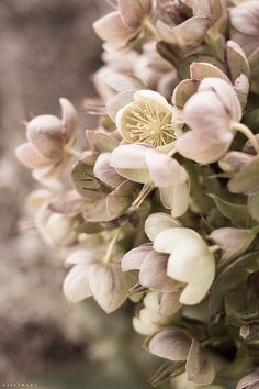 """// hellebores   the lenten rose / """"The one you cherish, the one you're firm friends with"""""""