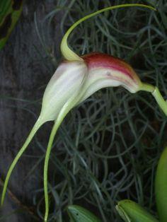 Masdevallia reichenbachiana