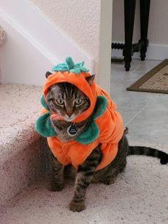 Pumpkin Halloween Cat Costumes