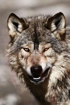 STOP KILLING WOLVES