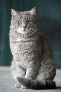 Pretty Cats, Beautiful Cats, Cat Heaven, Cat Character, Cat Aesthetic, Tier Fotos, Cute Cats And Kittens, Warrior Cats, Domestic Cat