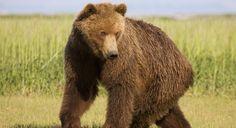 LA GRANDE FAMILLE DE L'HOMME   ICI EXPLORA Explorer, Brown Bear, Animals, Large Families, Animales, Animaux, Animal, Animais
