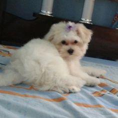 Cristal  - Meu cachorrinho muito brincalhão, dócil e amoroso estou adorando conviver com esse cãozinho,estou apaixonada pela minha princesa cristal