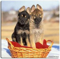 german shepherd puppy... Want one ASAP!!!