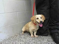 #A472758 Release date 9/20 I am a female, tan and white Dachshund - Longhaired. Shelter staff think I am about 2 years old. I have been at the shelter since Sep 13, 2014.  San Bernardino City Animal Shelter  333 Chandler Place, San Bernardino CA... https://www.facebook.com/photo.php?fbid=10203536597153123&set=a.10203202186593068&type=3&theater