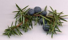 If you ever had a Martini or Gin and Tonic then you've drank juniper berries from this shrub of the conifer family. These berries are the flavoring in gin. Juniper Berry Oil, Juniper Tree, Foot Remedies, Herbal Remedies, Juniper Berry Essential Oil, Essential Oils, Gin History, O Gin, Juniperus Communis