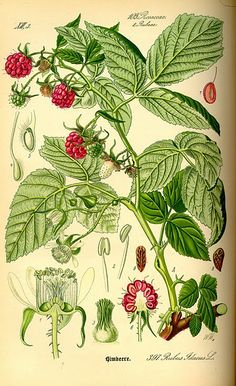 [ Rubus idaeus: Red Raspberry ] Botanical Plate, 1885 ~ from vintageephemera.blogspot.com