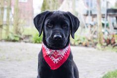 Black labrador Boris 15 weeks!
