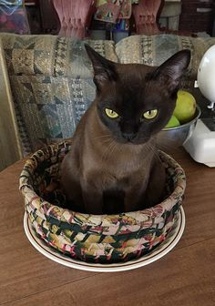 Burmese Kitten-Just Beautiful