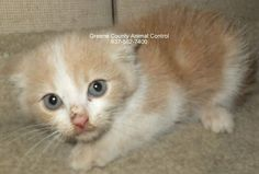 Adopted! URGENT- NO NETWORKING- Seriously  How is this baby there   ID: X20360 Breed: DOMESTIC LONG HAIR Gender: FEMALE Age: 2 MONTHS Size: SMALL Vet Checked: 11/26/2014 https://www.facebook.com/UrgentOhioCats/photos/a.537336142947900.137716.460554870626028/951518478196329/?type=1&theater