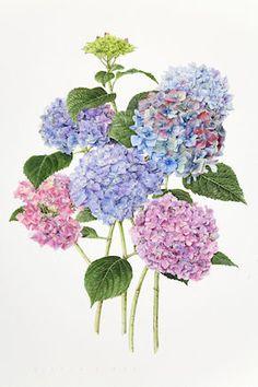 """Hydrangeas"" - by Evelyn Binns. Art Floral, Illustration Botanique, Illustration Blume, Botanical Flowers, Botanical Prints, Flower Prints, Flower Art, Hydrangea, Watercolor Flowers"