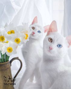 Meet The World's Most Beautiful Twin Cats — Iriss And Abyss