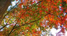 12  Nov. 盛りの紅葉です。福岡県糸島市 at Itoshima, Fukuoka prefecture,Japan   The leaves are at their peak color