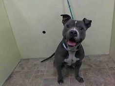 Manhattan Center   MAXUIM - A1013507   MALE, GRAY / WHITE, PIT BULL MIX, 7 yrs SEIZED - ONHOLDHERE, HOLD FOR ID Reason SEARCH WAR  Intake condition UNSPECIFIE Intake Date 09/09/2014, From NY 10454, DueOut Date 09/12/2014,  https://www.facebook.com/Urgentdeathrowdogs/photos/a.617938651552351.1073741868.152876678058553/868456866500527/?type=3&theater